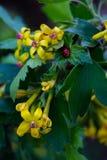Flowering black currant. Close-up. stock photos