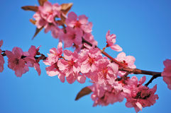 Flowering black plum branch Stock Photos
