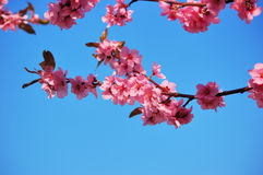 Flowering black plum branch. Flowering branch of black plum against a clear blue sky Royalty Free Stock Photography