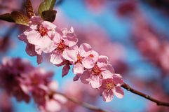 Flowering black plum branch Stock Images