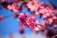 Flowering black plum branch. Flowering branch of black plum against a clear blue sky Stock Image