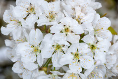 Flowering blackthorn, Prunus spinosa Royalty Free Stock Photography