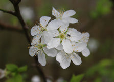 Flowering blackthorn, Prunus spinosa Royalty Free Stock Photos