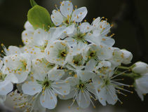 Flowering blackthorn, Prunus spinosa Royalty Free Stock Photography