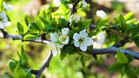 Flowering bloom of apple tree blossoming flowers in spring garden. stock video