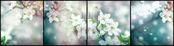 Flowering, blooming branch of fruit tree Stock Images