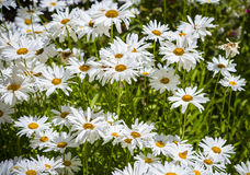 Flowering and blooming chamomile Royalty Free Stock Photography