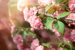 Flowering, blooming cherry branch, beautiful lowering in spring Royalty Free Stock Photos