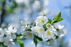 Flowering - blooming cherry tree, beautiful nature in spring. Flowering - blooming cherry tree, cherry branch lit by sun rays Royalty Free Stock Photography