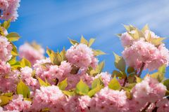 Flowering - blooming Japanese cherry tree and blue sky beautiful nature in spring. Flowering - blooming cherry tree, cherry branch lit by sun rays, beautiful Stock Photos