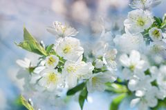 Flowering - blooming cherry tree, cherry branch lit by sun rays. Beautiful nature in spring Stock Image