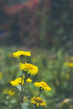 Flowering. Blooming chrysanthemum and camomile in the grass. of Stock Photography