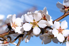 Flowering-blooming fruit tree Royalty Free Stock Photos