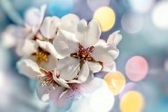 Flowering, blooming fruit tree in spring - beautiful nature royalty free stock photo