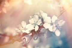 Flowering, blooming fruit tree in spring, branch of flowering tree stock photos