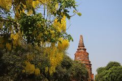 Flowering Blooming Golden Shower And Ancient Pagoda. Flowering blossoming of cassia fistula with old stupa and clear blue sky in Thailand stock image