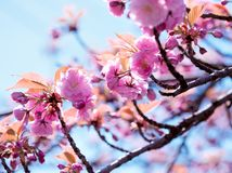 Flowering, blooming Japanese cherry tree, flowering cherry tree. Beautiful flowering Royalty Free Stock Photography