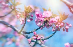 Flowering, blooming Japanese cherry tree and blue sky - beautiful nature in spring. Japanese cherry tree lit by sunlight, flowering cherry tree - beautiful Royalty Free Stock Photo