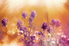 Flowering - blooming red clover Stock Photography