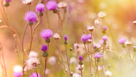 Flowering, Blooming Thistle - Burdock Stock Image