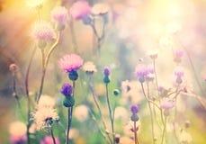 Flowering, Blooming Thistle - Burdock Stock Photos