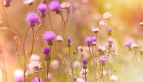 Flowering, blooming thistle - burdock Stock Image