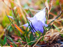 Flowering Blue Bell. Beautiful blue flowers with water droplets in the morning Stock Photos