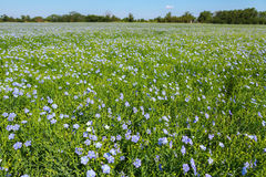 Flowering blue flax field. Stock Photography