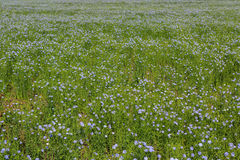 Flowering blue flax field. Royalty Free Stock Photo