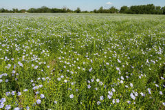 Flowering blue flax field. Royalty Free Stock Photography