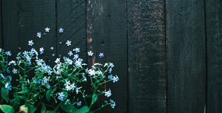 Flowering blue flowers on a wooden black background Stock Photos