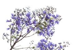 Flowering blue jacaranda. Isolated on white bacground Royalty Free Stock Photo