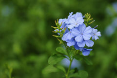 Flowering blue Plumbago natural background Stock Image
