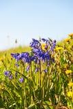 Flowering Bluebells flower Stock Image