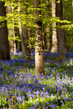 Flowering bluebells in spring forest Royalty Free Stock Photography