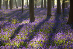 Flowering bluebells in spring forest Stock Image