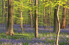 Flowering bluebells in sunny forest Royalty Free Stock Photos
