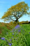 Flowering bluebells Stock Photography