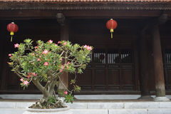 Flowering bonsai outside ancient temple royalty free stock photography