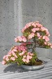 Flowering Bonsai Tree. A pink flowering Bonsai tree Royalty Free Stock Images