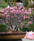 Flowering bonsai Tree Stock Image