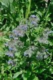 Flowering borage. In a garden stock photography