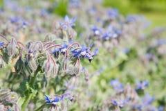 Flowering borage. ( borago officinalis) background royalty free stock photo