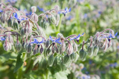 Flowering borage royalty free stock photos