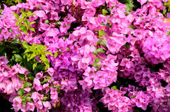 Flowering bougainvillea Royalty Free Stock Photography