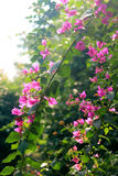 Flowering bougainvillea. Bloom in the flower garden, plant cultivation, bougainvillea, purple flowers and green leaves, beautify the environment Royalty Free Stock Images