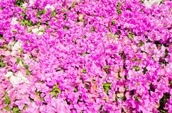 Flowering bougainvillea. Royalty Free Stock Photography