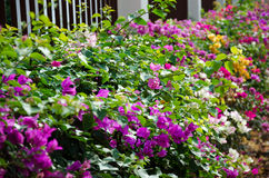 Flowering bougainvillea. Royalty Free Stock Photos