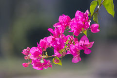 Flowering bougainvillea on blurred background . Wild blossom. Se Stock Images