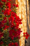 Flowering bougainvillea on a facade Royalty Free Stock Image